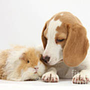 Orange-and-white Beagle Pup And Alpaca Poster