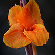 Orange Canna Lily Poster