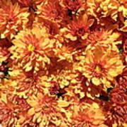Orange Chrysanthemums Poster