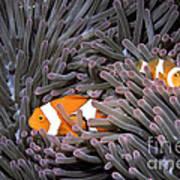 Orange Clownfish In An Anemone Poster