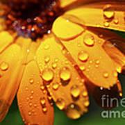 Orange Daisy And Raindrops Poster