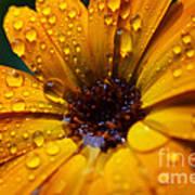 Orange Daisy In The Rain Poster