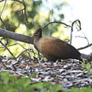 Orange Footed Scrub Fowl Poster