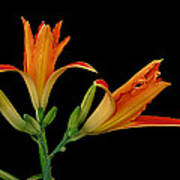 Orange Lily On Black Poster