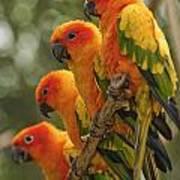 Orange Parakeets Chiang Mai Thailand Poster