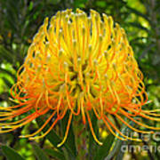 Orange Protea Flower Art Poster by Rebecca Margraf