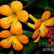 Orange Rhododendron Flowers Poster