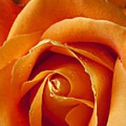 Orange Rose Close Up Poster