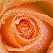 Orange Rose With Dew Poster