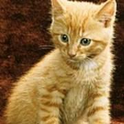 Orange Tabby Mixed Breed Kitten  Poster
