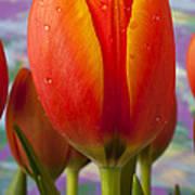 Orange Tulip Close Up Poster