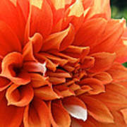 Orange Vanilla Dahlia Poster