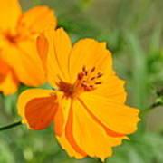 Orange Wildflower Poster