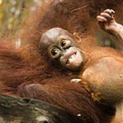 Orangutan Pongo Pygmaeus.  Juvenile Poster