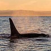 Orca At Sunset Poster