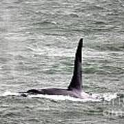 Orca On The Move Poster