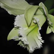 orchid 900 Brassolaeliocattleya Ruben's Verde Chantilly Green Poster