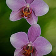 Orchid Delight Poster by Adele Moscaritolo