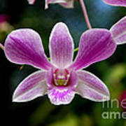 Orchid In Kandy Poster