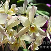 Orchid Iwanagara 9854 Poster