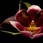 Orchid Poster by Jacqui Collett