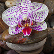 Orchid On Stack Of Rocks Poster