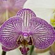 Orchid Originality Poster