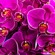 Orchids A Plenty Poster