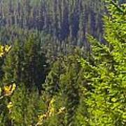 Oregon Trees Poster