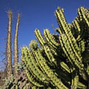 Organ Pipe Cactus Stenocereus Thurberi Poster