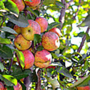 Organic Apples In A Tree Poster