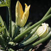 Organic Courgettes Poster