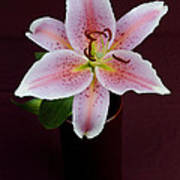 Oriental Lilly Poster
