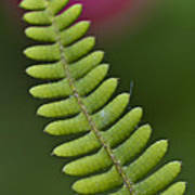 Ornamental Fern Poster