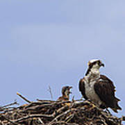 Osprey Mother And Chick Poster