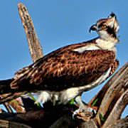 Osprey On A Windy Morning Poster