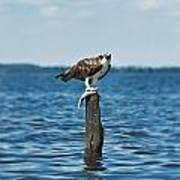 Osprey With Catch. Poster