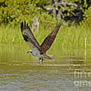 Osprey With Rainbow Trout Poster
