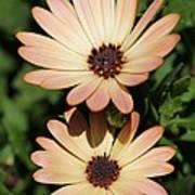 Osteospermum Named Sunadora Palermo Poster