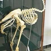 Ostrich Skeleton Poster