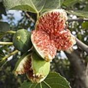 Over-ripe Figs On A Tree Poster