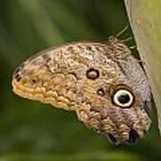 Owl Butterfly Caligo Idomeneus Resting Poster
