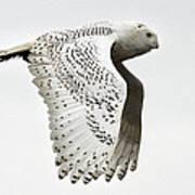 Owl In Flight Poster