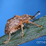 Oxyops Vitiosa Leaf Weevil On Melaleuca Poster