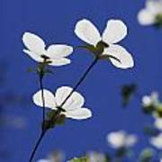 Pacific Dogwood Blossoms Cornus Poster