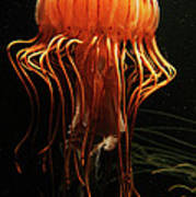 Pacific Sea Nettle Chrysaora Poster