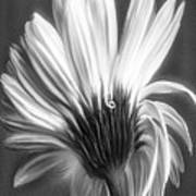 Painted Gerbera Daisy In Black And White Poster