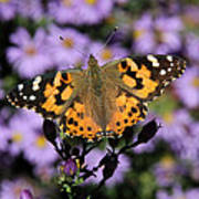 Painted Lady Among The Asters Poster