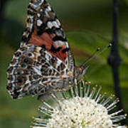 Painted Lady Butterfly Din049 Poster