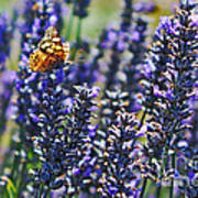 Painted Lady Butterfly On Lavender Flowers Poster